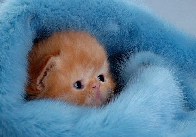 Kitten in blue fuzzy