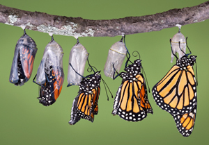Butterfly_emerging_from_a_Chrysalis